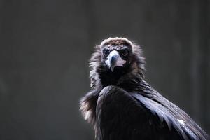 abutre cinereous em uma luz de fundo