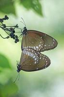 acasalamento de borboleta de corvo comum foto