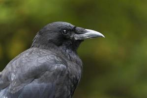 corvo do noroeste foto