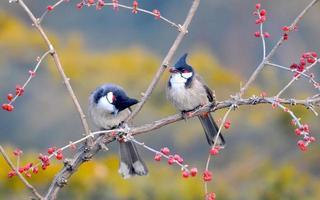 pássaro bulbul foto