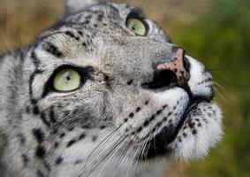 leopardo da neve foto