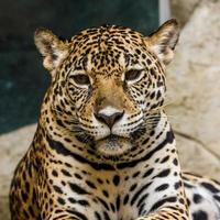 leopardo foto