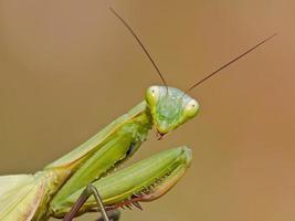 retrato de mantis foto