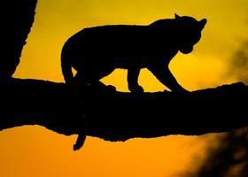 silhueta de leopardo foto