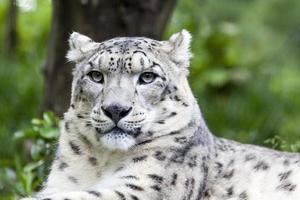 leopardo da neve