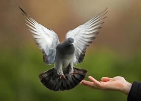 pombo selvagem (columba livia) foto