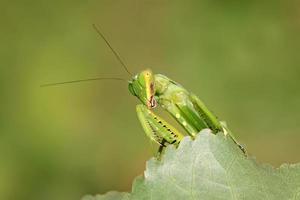 closeup de mantis foto