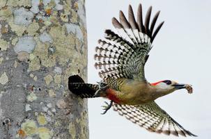 pica-pau indiano ocidental (melanerpes superciliaris) foto