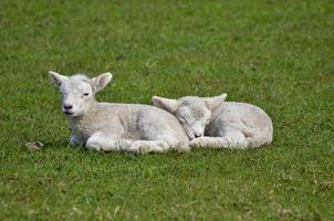 cordeiros bebê dormindo em uma fazenda, nova zelândia foto