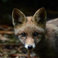 raposa juvenil foto