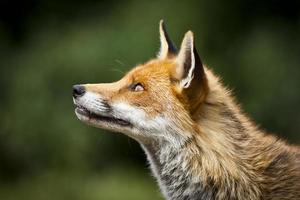 perfil saudável raposa vermelha foto