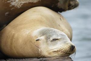 close-up de leão-marinho selvagem da califórnia foto