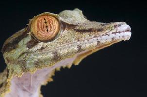 lagartixa-de-cauda-folha / uroplatus fimbriatus foto