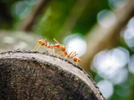 amor de formiga foto