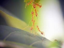 trabalho em equipe formiga vermelha na natureza verde foto