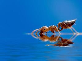 esta formiga realmente pequena apenas cerca de 2 mm foto