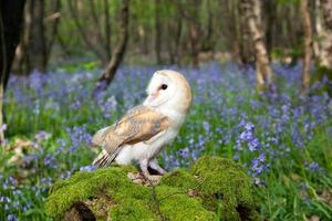 coruja de celeiro no campo de bluebell foto