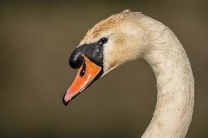 cabeça de cisne, close-up foto