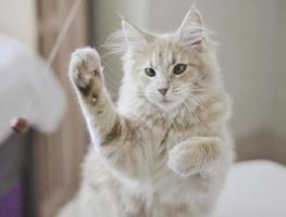 maine coon lindo gato brincando com bola vermelha foto