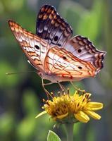 borboleta pavão branco foto