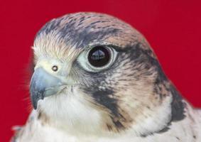 cabeça de falco tinnunculus foto