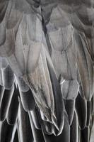 textura de detalhe de asa de pássaro