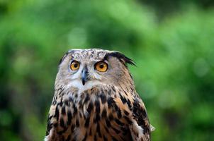 coruja de águia euro-asiática ou europeia bubo bubo olha atentamente foto