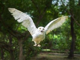 coruja de neve em ação voadora com asa completa