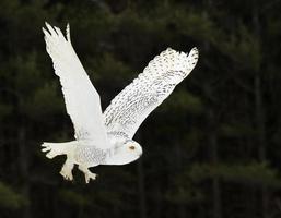 planando coruja nevado