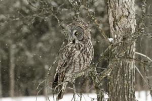 coruja cinza em uma cena de inverno foto
