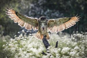 coruja de águia eurasian foto