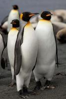 pinguins rei, ilha macquarie foto