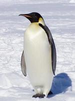 um pinguim-imperador na neve foto