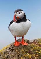 papagaio-do-mar - noruega foto