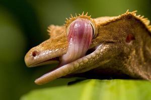 lagartixa caledoniana foto