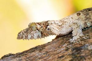 retrato de lagartixa de cauda folha foto