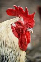 galo na exploração avícola tradicional ao ar livre