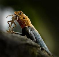 lagarto comendo foto