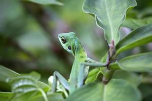 lagarto da selva foto