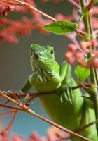 lagarto verde foto