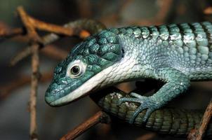 perfil de lagarto jacaré arbóreo foto