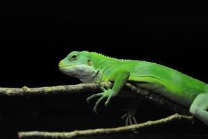 lagarto verde se aquecendo em um galho contra um fundo preto foto