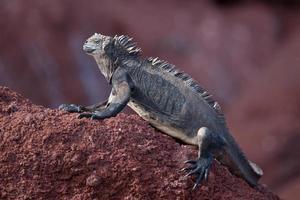 iguana terrestre de Galápagos (vista lateral) nas Ilhas Galápagos