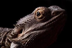 dragão barbudo foto