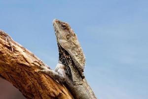 dragão frilled closeup