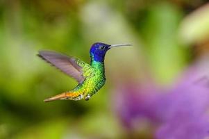 beija-flor pássaro safira de cauda dourada foto