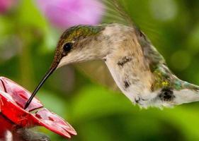 beija-flor-de-garganta-rubi feminina no alimentador foto