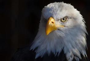 tiro na cabeça da águia foto