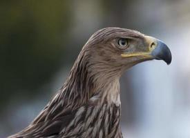 águia dourada face lateral