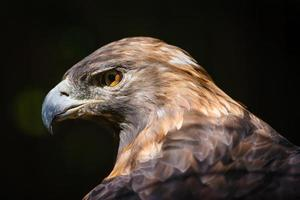 águia dourada (aquila chrysaetos)